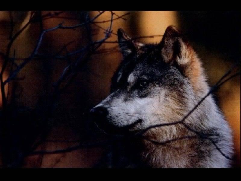 `Wolf Existence //PsychePack vs TartarusPack\\ - Page 6 Dark-wolf-wallpaper-800x600