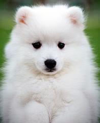 Fotografije životinja Samoyed_03