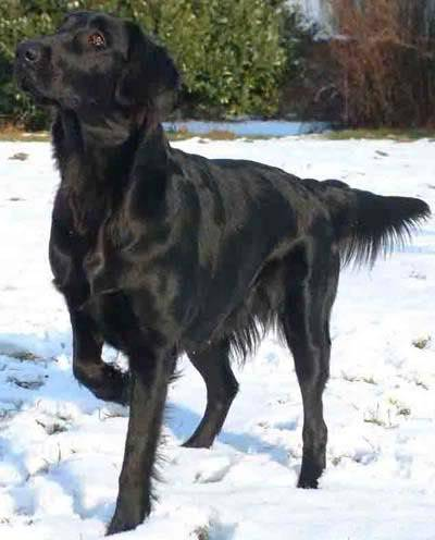 Vista Black Wind of Varaždin - Flat Coated Retrieverica Chilia