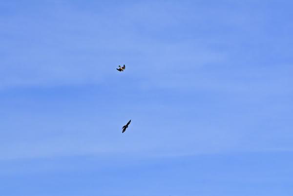 Falconiformes. sub Falconidae - sub fam Falconinae - gênero Falco - Página 2 DSC_0019AB-1