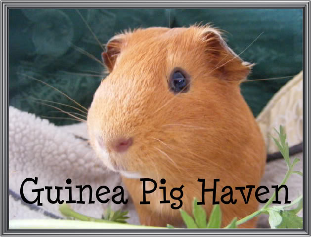Guinea Pig Haven