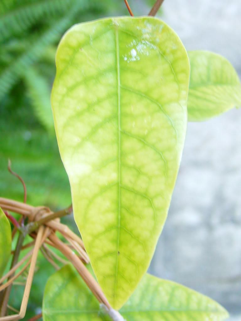 Hoyas amarillas en Passiflora racemosa P1040489