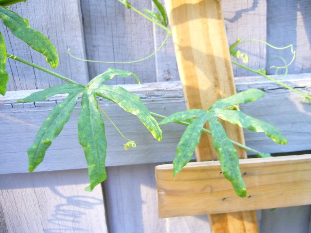 Passiflora caerulea enfermiza P1040690