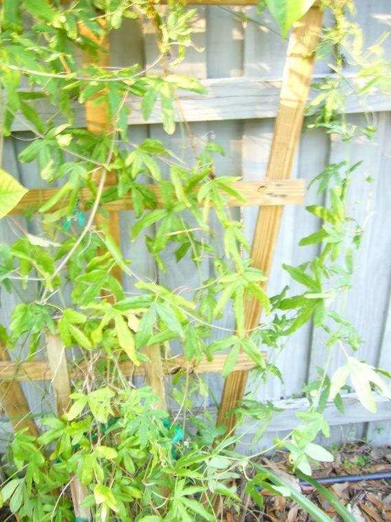 Passiflora caerulea enfermiza P1040699