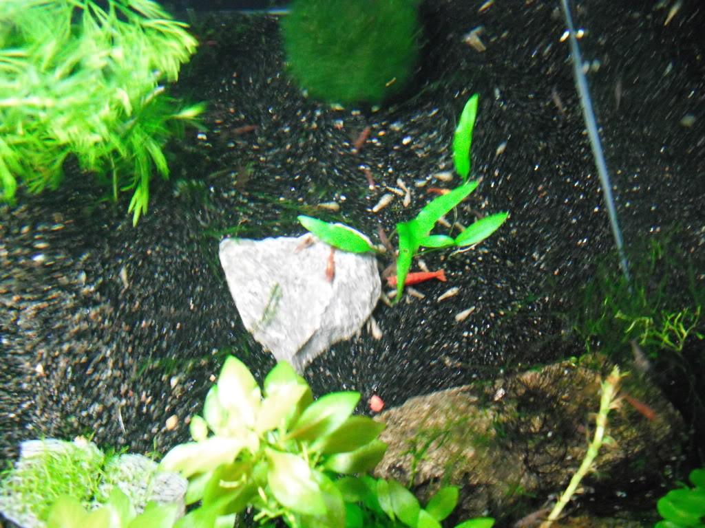 Crevette red cherry  DSCF0136