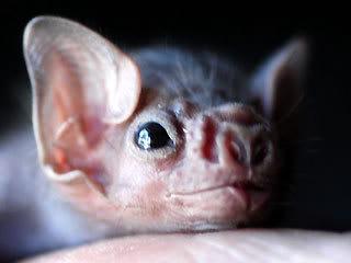 Najslađe životinje na svijetu - Page 2 Babybatsarecute