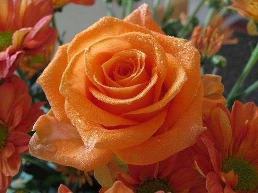 CVECE - Page 14 Orange-roses--rose-flower-pictures-