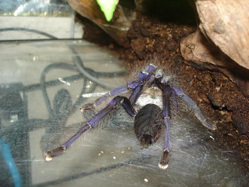 Las tarantulas mas extrañas que hayan visto  DSC05295