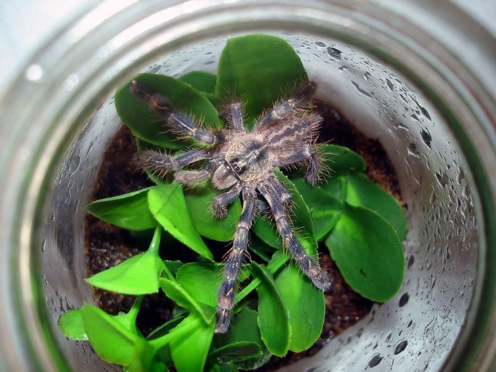 Las tarantulas mas extrañas que hayan visto  Slika274