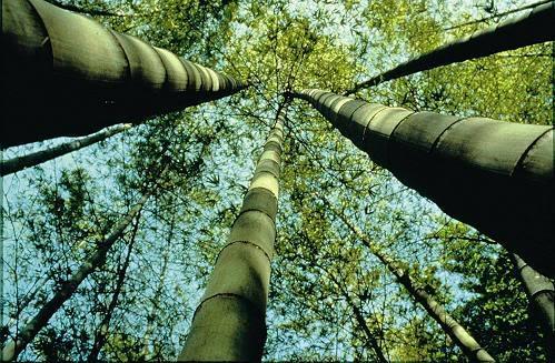 zum Mittwoch Bambus-4