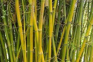 zum Mittwoch Bambus-5