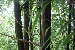 zum Mittwoch Bambus-8