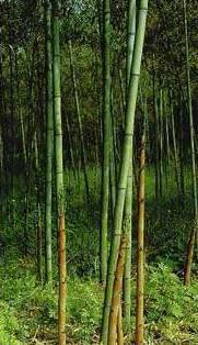 zum Mittwoch Bambus