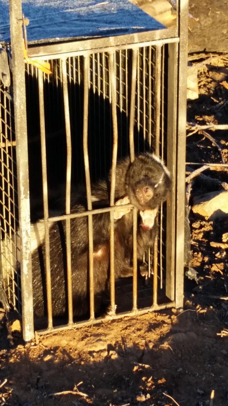Bobcat cage escapes 20150123_074632