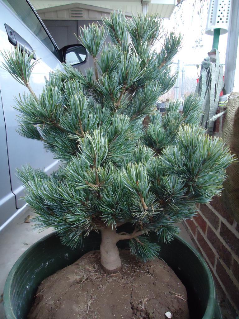 a few japanese white pine Qs 256
