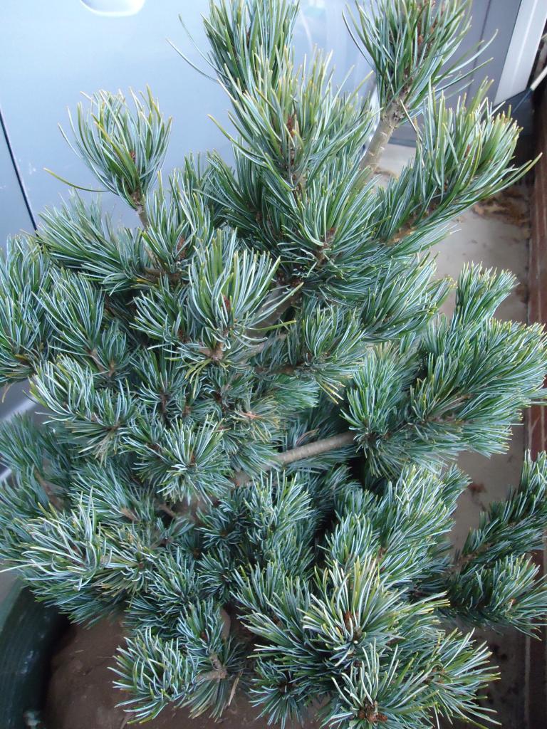 a few japanese white pine Qs 257