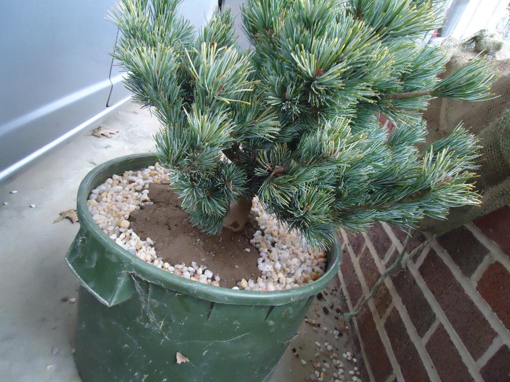 a few japanese white pine Qs 259
