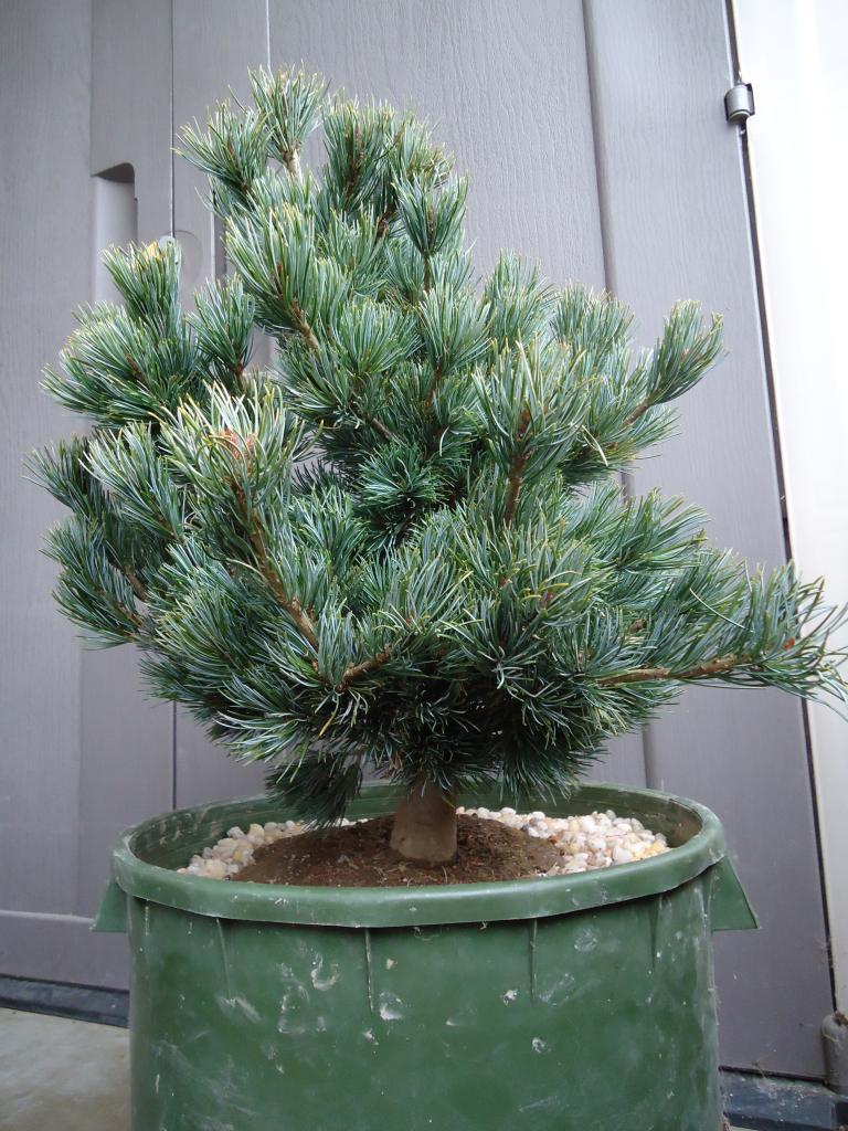 a few japanese white pine Qs 261