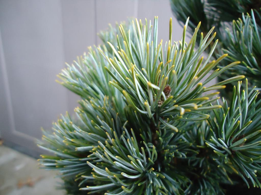 a few japanese white pine Qs 262