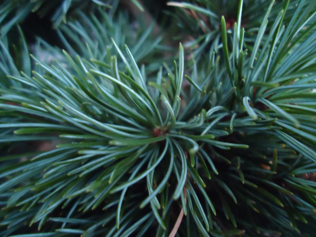 a few japanese white pine Qs 263