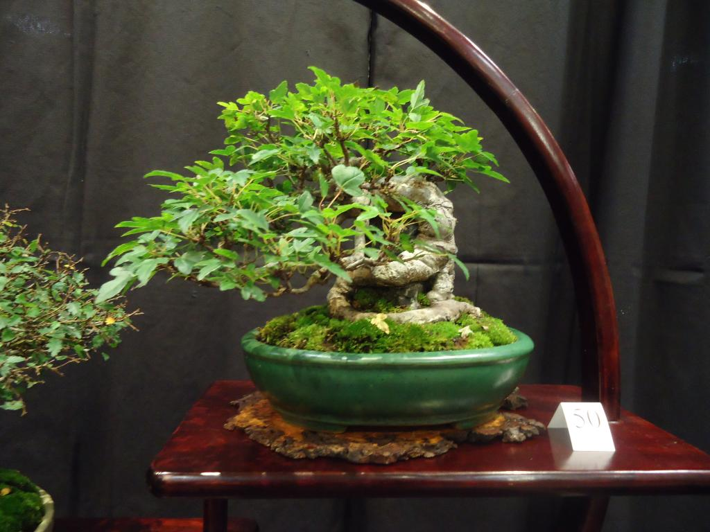 Carolina Bonsai Expo 2014 DSC02726_zps1e0dabc3