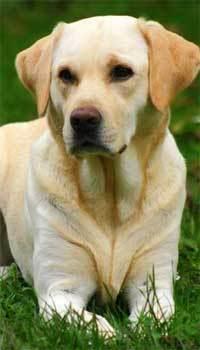RETRIVERI Labrador-retriever