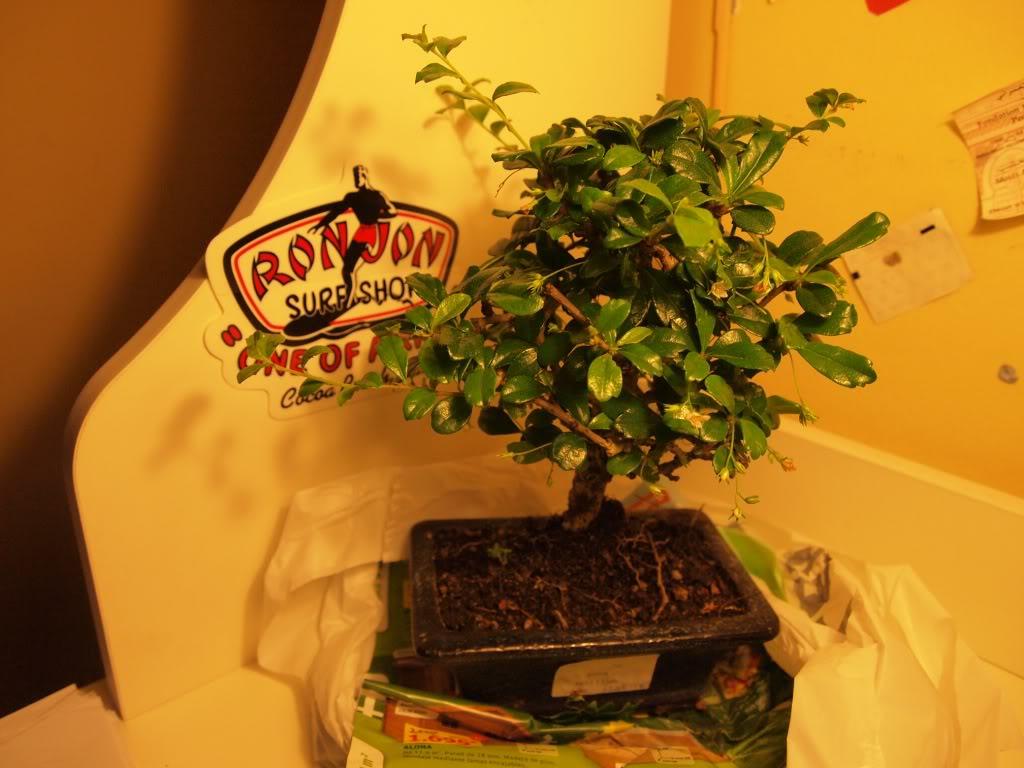 ¡Hola! - Mi bonsái, ese gran desconocido P9201395-copia