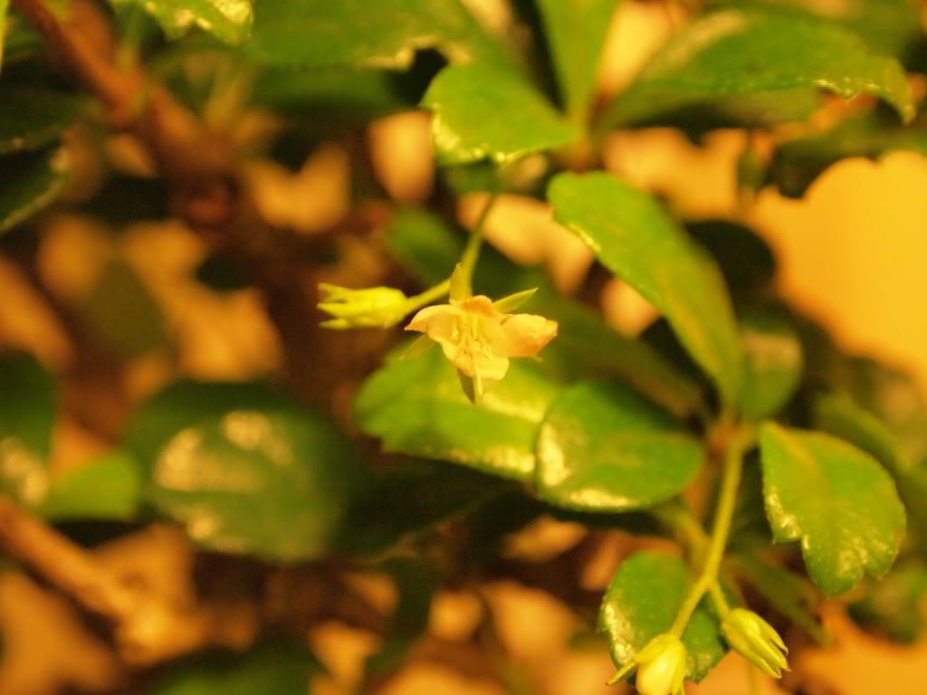 ¡Hola! - Mi bonsái, ese gran desconocido P9201396-copia