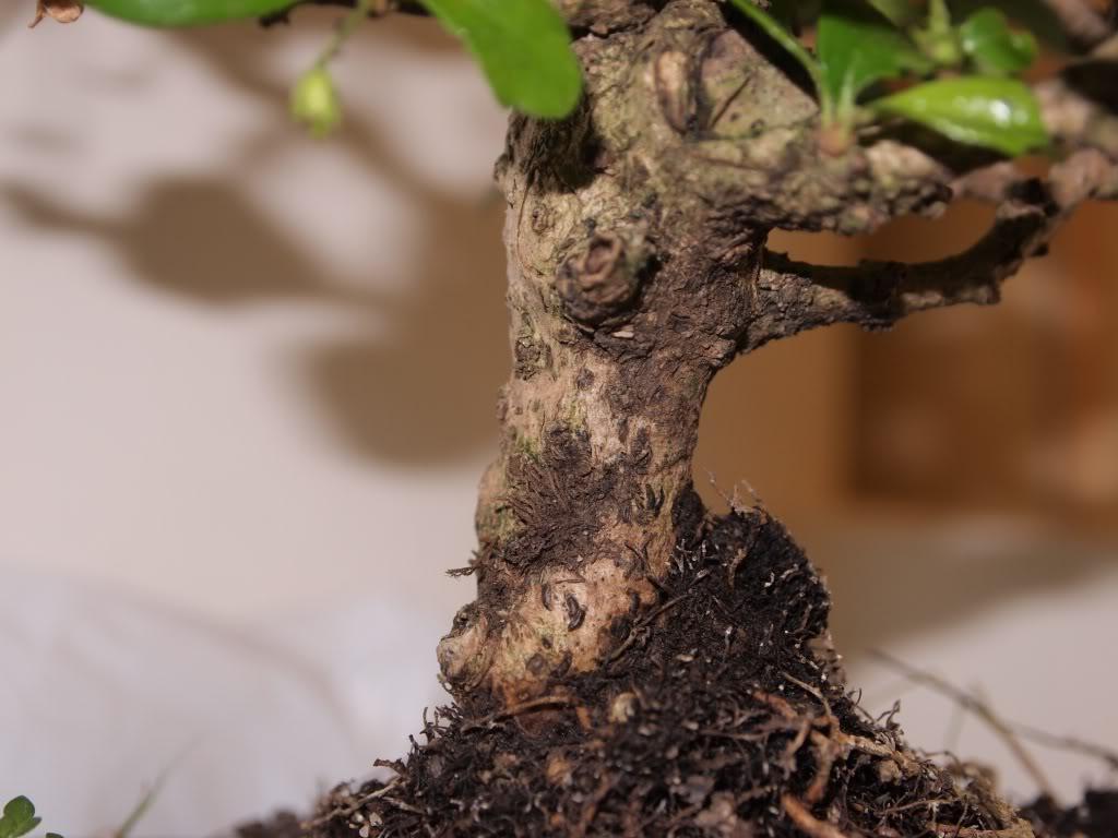 ¡Hola! - Mi bonsái, ese gran desconocido P9201398-copia