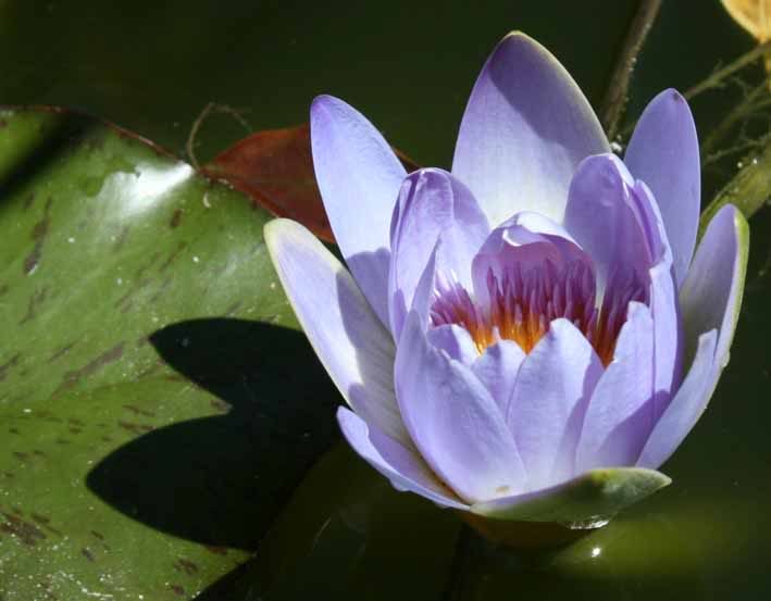 Pricelist - waterplants Lilly-Lilac