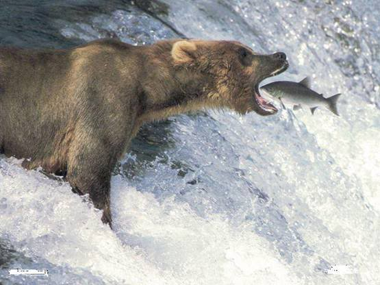 A unique way of catching fish Bear