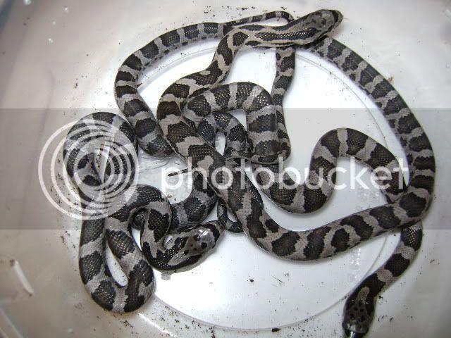 My Black Rat Snake Layed! DSC02001