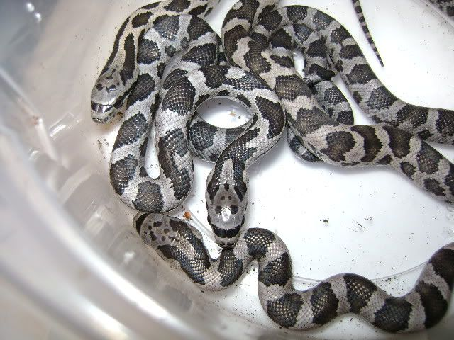My Black Rat Snake Layed! DSC02004