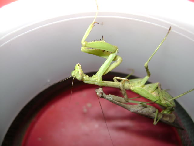 Mating Mantids and Eggs DSC02011
