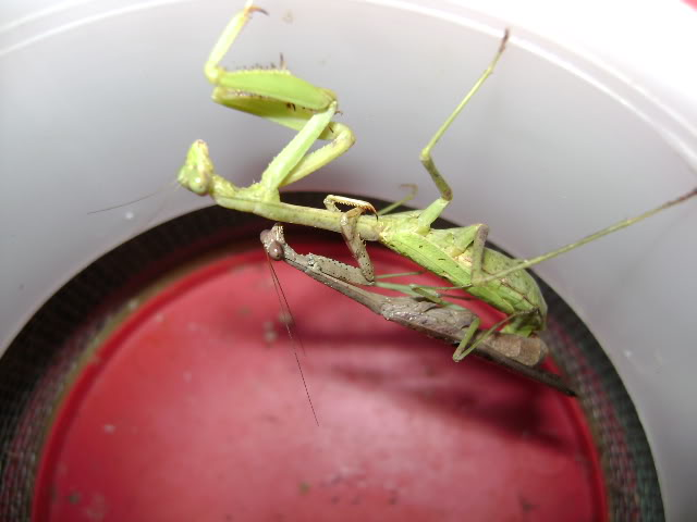 Mating Mantids and Eggs DSC02012