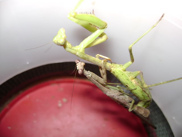 Mating Mantids and Eggs DSC02014