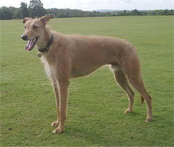 Nepriznate pasmine Lurchergreyhoundsalukibeardedcollie
