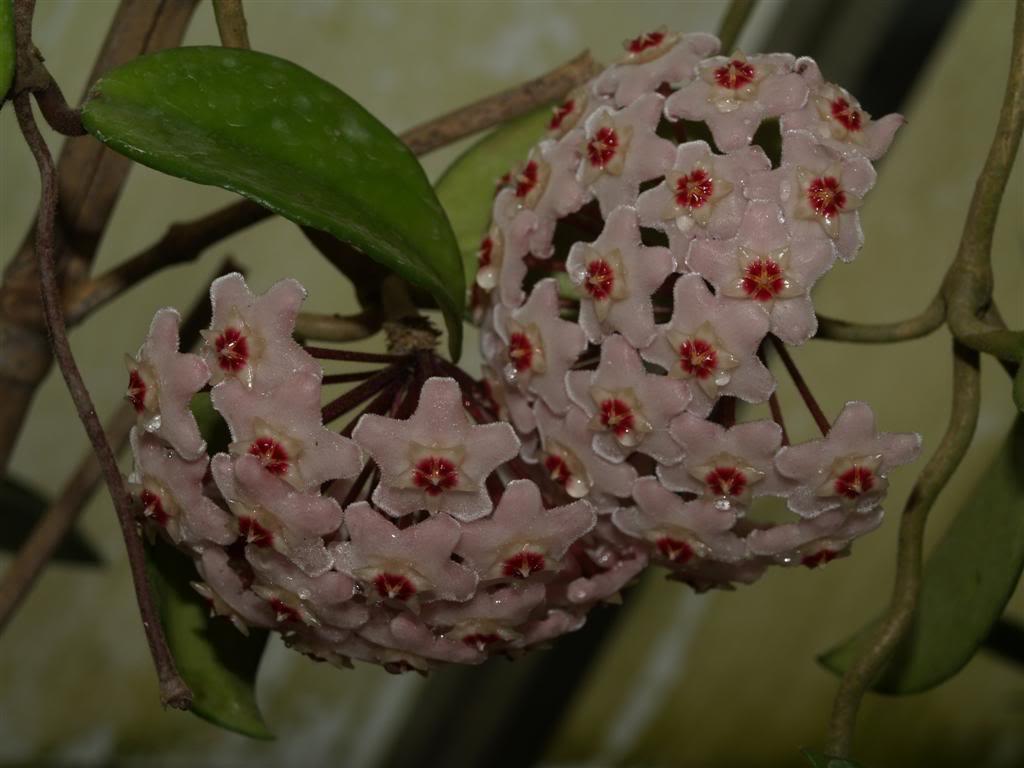 Hoyas - Flores de Cera P1010075Large-3