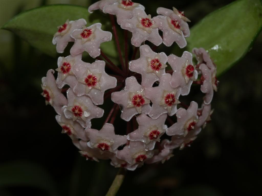 Hoyas - Flores de Cera P1010076Large-1