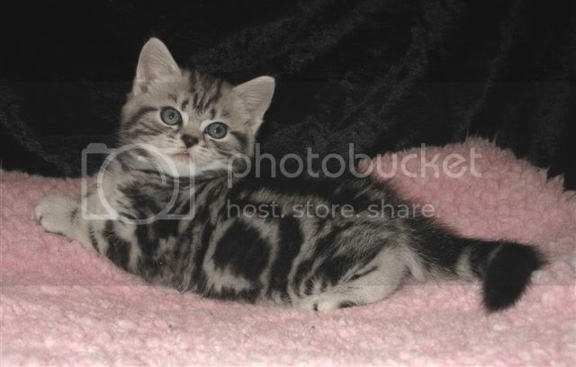 From Cattery Schibboleth British Shorthair IMG_7991