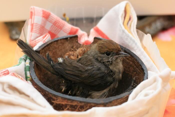 Conseils pour recueillir un oiseau blessé, tombé du nid ... Photofabcanoneos344