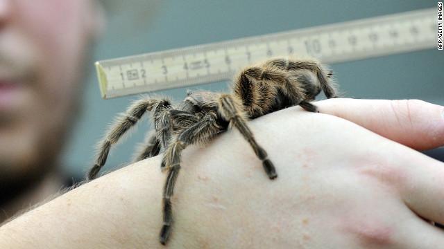 Des araignées géantes sèment la panique en Inde 120604075301-tarantula-india-story-top