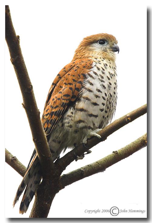 Falconiformes. sub Falconidae - sub fam Falconinae - gênero Falco - Página 2 MauritiusKestrel1