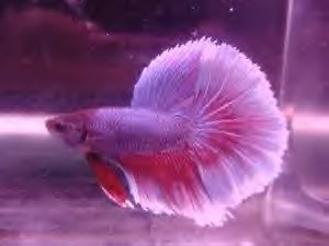 Ordering Bettas online BlueVioletHM