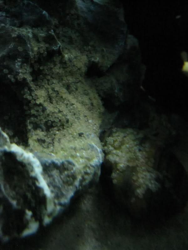 SB Green Terrors laid eggs! IMG_5732