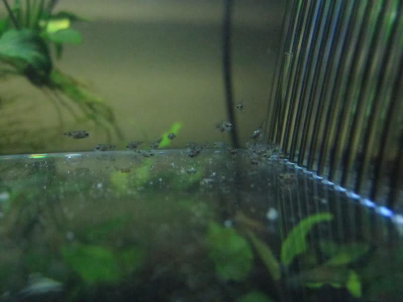 SB Green Terrors laid eggs! IMG_5773