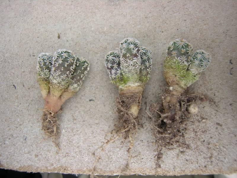 Multiheaded turbinicarpus DSCN3633