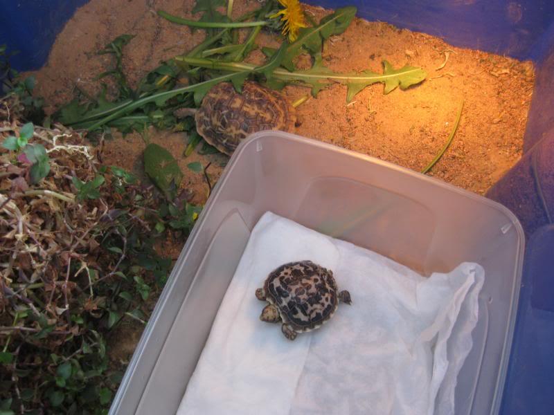 malacocherus tornieri:première naissance de cette année 013_zps1eb4a281