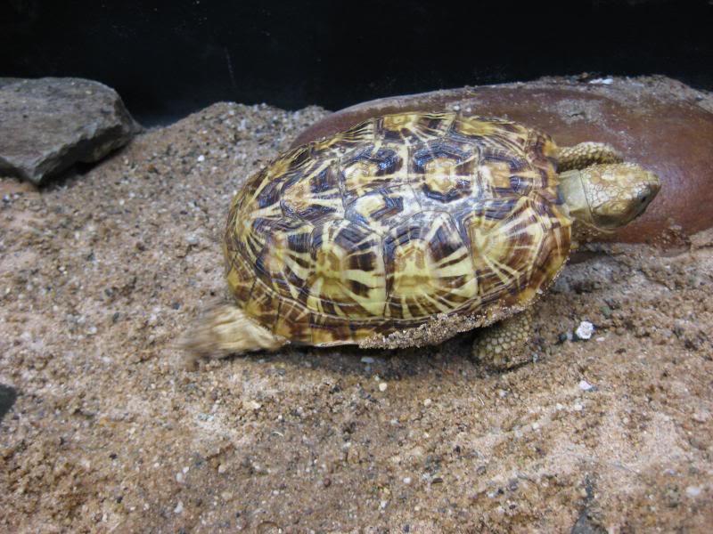 malacocherus tornieri:première naissance de cette année Afbeelding189_zps65be102c