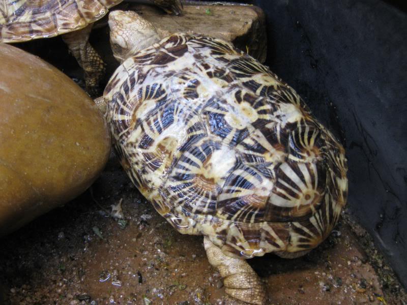 malacocherus tornieri:première naissance de cette année Afbeelding194_zps6ca711ee